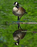 Canadian Goose Prints - Canadian Green Print by Tony Beck