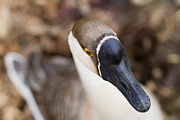 Goose Photo Prints - Canadian Print by Rebecca Cozart