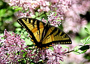Black Photographs Prints - Canadian Tiger Swallowtail on Lilacs - 1 Print by Tam Graff