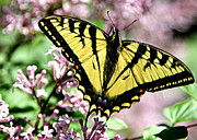 Black Photographs Prints - Canadian Tiger Swallowtail on Lilacs - 2 Print by Tam Graff