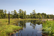 Conifer Tree Prints - Canadian Wetland Print by Ted Kinsman