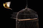 Canary Metal Prints - Canary Flying Out Of Cage Metal Print by PM Images