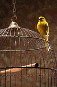 Canary Metal Prints - Canary Perching Atop Birdcage Metal Print by PM Images