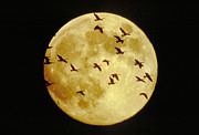 Flocks Posters - Canda Geese and Moon Poster by Kenneth Fink and Photo Researchers