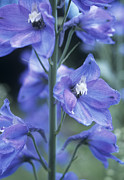 Blue Delphinium Photos - Candle Larkspur (delphinium Elatum) by Maxine Adcock