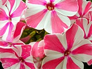 Phlox Framed Prints - Candy Cane Phlox Framed Print by Randy Rosenberger