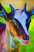 Candy Goat Print by Mariola Bitner