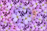 Purple Flower Photo Acrylic Prints - Candytuft Acrylic Print by Mary P. Siebert