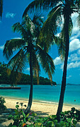 Island Photos Posters - Caneel Bay Palms Poster by Kathy Yates