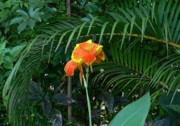Canna Photo Originals - Canna 1 by Padamvir Singh
