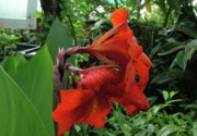Canna Photo Originals - Canna 15 by Padamvir Singh