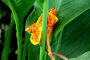 Canna Photo Originals - Canna 4 by Padamvir Singh