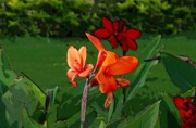 Canna Photo Originals - Canna 5 by Padamvir Singh