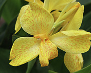 Canna Photo Metal Prints - Canna Amarillo III Metal Print by Suzanne Gaff