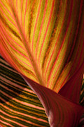 Canna Photos - Canna by Annette Weiner