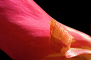 Canna Photo Prints - Canna Curl Print by Jeannie Burleson