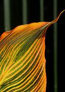 Canna Leaf Print by Nareeta Martin