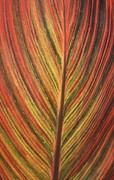 Canna Prints - Canna Leaf Print by Patrick  Short