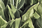 Canna Lily Photos - Canna Lilies by Jason Politte