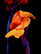 Canna Lilies On Black With Blue Print by Mother Nature