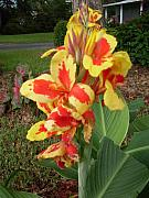 Canna Lily 2 Print by Warren Thompson