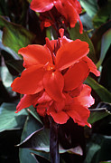 Canna Posters - Canna Lily assaut Poster by Adrian Thomas