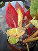 Clifton Keller - Canna Lily Fall Colors