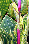 Canna Metal Prints - Canna Lily Foliage Metal Print by Dr Keith Wheeler