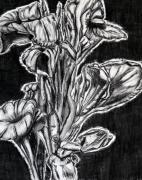 Canna Drawings - Canna Lily Guangzhou China by Joy Neasley