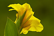 Canna Framed Prints - Canna Lily Framed Print by Heiko Koehrer-Wagner