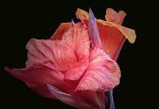Canna Lily Print by John Stuart Webbstock
