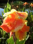 Canna Photo Originals - Canna Lily Light by Warren Thompson