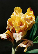 Canna Lily Photos - Canna Lily by Marilyn Wilson
