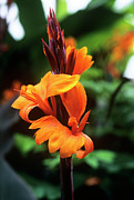 Canna Posters - Canna Lily roi Humbert Poster by Adrian Thomas