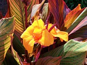 Canna Photos - Canna by Raymond Robinson