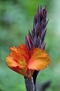 Canna Photo Prints - Canna Sp Print by Dr Keith Wheeler