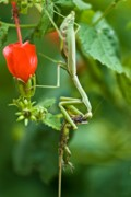 Mantis Photos - Cannibalism by Charles Dobbs