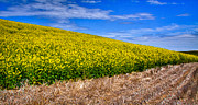 Canola Field Prints - Canola and Stubble Print by David Patterson
