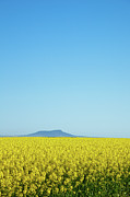 Lincoln Field Prints - Canola Crops Flowers In Field Print by John White Photos