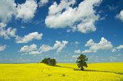 Canola Field Prints - Canola Field And Clouds, Rathwell Print by Mike Grandmailson