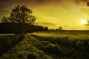 Canola Field Prints - Canola Field At Sunset Print by Christopher and Amanda Elwell