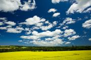 Field Of Crops Prints - Canola Field, Brookfield, Prince Edward Print by John Sylvester
