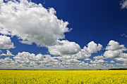 Rural Photo Framed Prints - Canola field Framed Print by Elena Elisseeva
