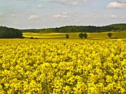 Rural Area Framed Prints - Canola Field Framed Print by Heiko Koehrer-Wagner