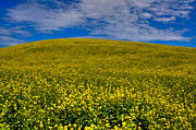 Lear Metal Prints - Canola Field in the Palouse Metal Print by David Patterson