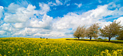 Cloudy Sky Photos - Canola Field Panorama by Christopher and Amanda Elwell