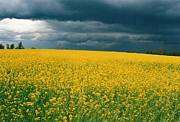 Yellow Green Posters - Canola Field Poster by Shirley Sirois