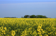 Blue Pyrography Prints - Canola Field Print by Stefan Kuhn