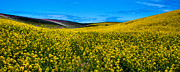 Canola Field Prints - Canola Hills in the Palouse Print by David Patterson