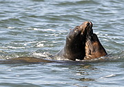 Sea Lions Photos - Canoodling by Fraida Gutovich
